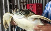 Cà Mau: Trưng cầu giám định 300kg cá thể động vật nghi là rùa biển