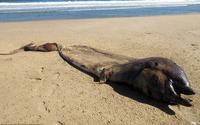Sinh vật bí ẩn nửa cá voi, nửa cá heo trôi dạt bờ biển