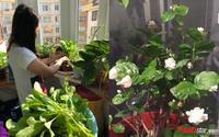 Ban công chỉ có 3m2 mà mẹ Việt tại Bỉ trồng đủ rau quả ăn không hết