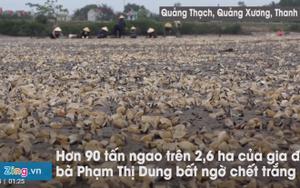 Gần 100 tấn ngao chết trắng đầm, người nuôi mất tiền tỷ