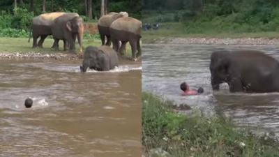 Tưởng ân nhân của mình sắp chết đuối, voi con lao mình vào dòng nước để 'cứu hộ'