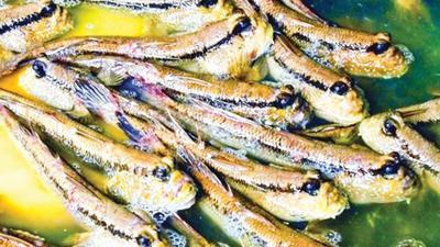 Về cực Nam Tổ quốc thưởng thức món 'cá trèo cây'