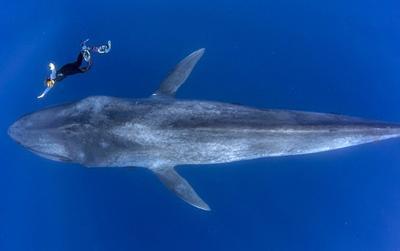 Cuộc chạm trán giữa thợ lặn và cá voi xanh hơn 30 mét trong những bức hình tuyệt đẹp