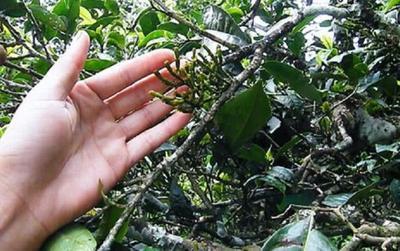 'Càng cua' ký sinh trên cây, giá hơn 6 triệu đồng/kg