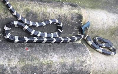 Bé trai 20 ngày tuổi bị rắn cạp nong cắn tử vong thương tâm