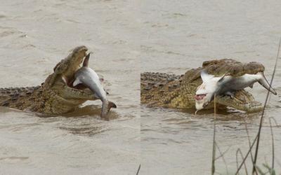 Khoảnh khắc cá sấu cắn chết cá mập bò chỉ bằng một phát ngoạm