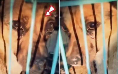 Xôn xao chú chó khóc nức nở được giải cứu lúc sắp lên lò mổ