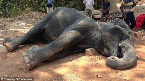 Xót xa chú voi chết vì kiệt sức sau 15 năm phục vụ du khách