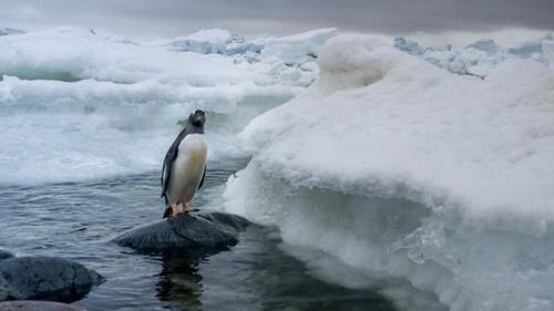 Bất ngờ với cách chim cánh cụt ứng phó với thảm họa biến đổi khí hậu
