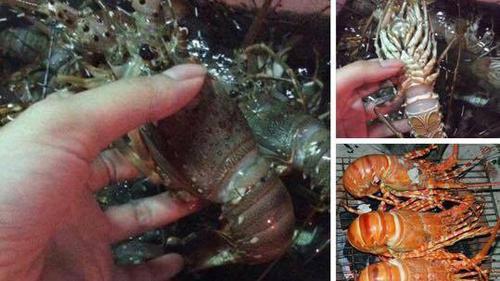 Nha Trang: Bè tôm hùm bị bão đánh tan nát tràn ra biển, người dân đánh lưới đem về bán giá chỉ 150k/kg