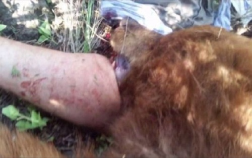 Gấu 200 kg vẫn ngoạm chặt chân người dù đã bị bắn chết