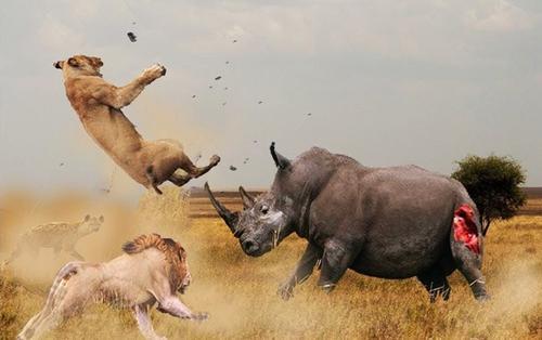 Cận cảnh 3 con sư tử bao vây đánh hội đồng tê giác và cái kết bất ngờ