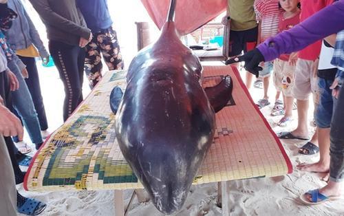 Giải cứu cá heo nặng hơn 150kg dạt vào bờ biển Hà Tĩnh