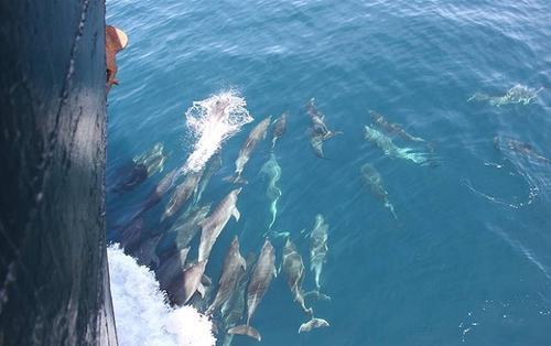 Hiện tượng cực kỳ hiếm gặp: Hàng trăm con cá heo bơi thành đàn, nhảy múa trên vùng biển Hội An
