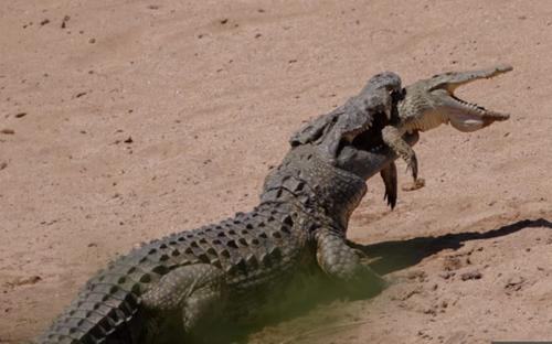 Cá sấu khổng lồ ngoạm đồng loại trong miệng và kéo xuống hồ xé xác