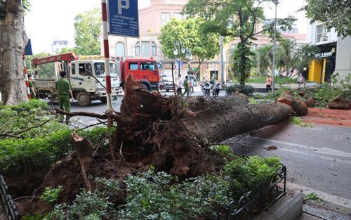 Hà Nội: Cây lớn bất ngờ đổ chắn ngang phố Lý Thái Tổ dù không có mưa to, gió mạnh