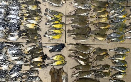 Xác gần 300 con chim rơi quanh các tòa nhà chọc trời ở New York gây ám ảnh