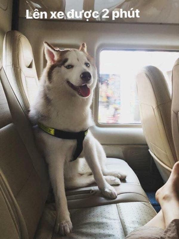 Chú chó hớn hở khi lên ô tô.
