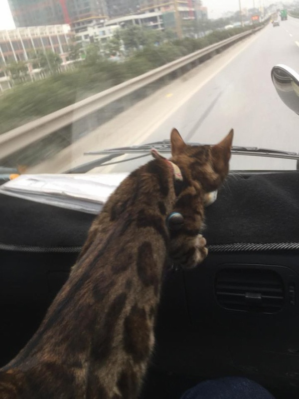 Mèo này có xe riêng nhưng cũng căng thẳng hết sức.
