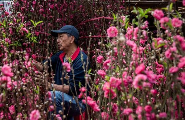 Một người đàn ông bán hoa đào ở quận Cửu Long, Hong Kong.