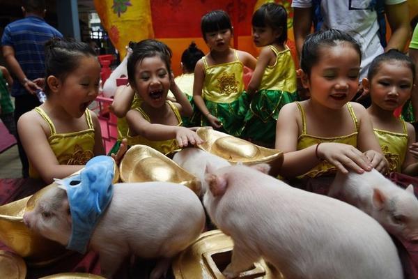 Các em nhỏ thích thú khi chạm vào những chú lợn trong sự kiện chào mừng Tết Kỷ Hợi ở phố người Hoa tại Manila, thủ đô Philipppines hôm 1/2.