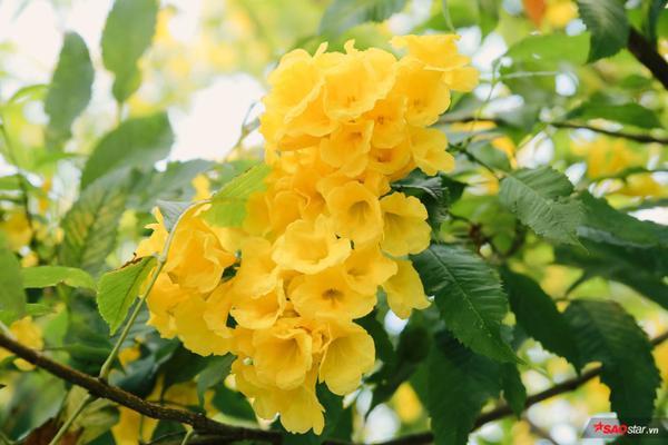 Từng chùm hoa vàng óng đẹp mắt.