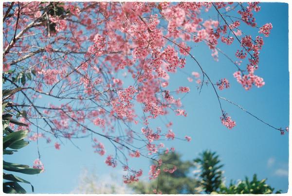 Hoa nở rợp khắp con đường Đà Lạt. Ảnh: Jane Duong.