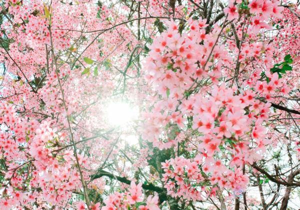 Loài hoa chỉ mọc thành từng chùm, cánh nhỏ li ti mong manh và mau tàn