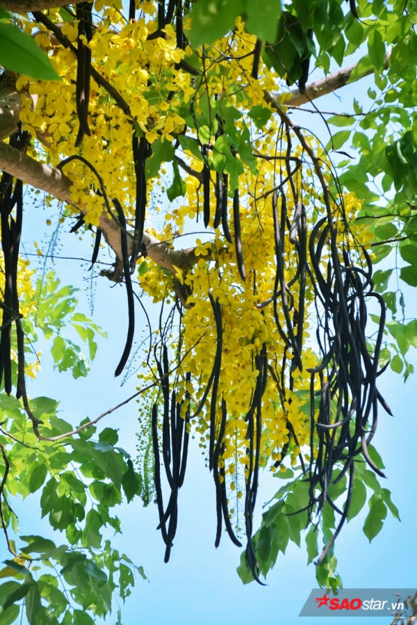 Cây hoa nở quanh năm, dường như trở nên thân thuộc với mọi người.