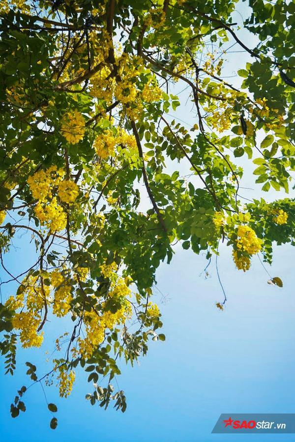 Hoa bò cạp vàng rất dễ sống, lại cho hoa đẹp nên được trồng ở khắp nơi.