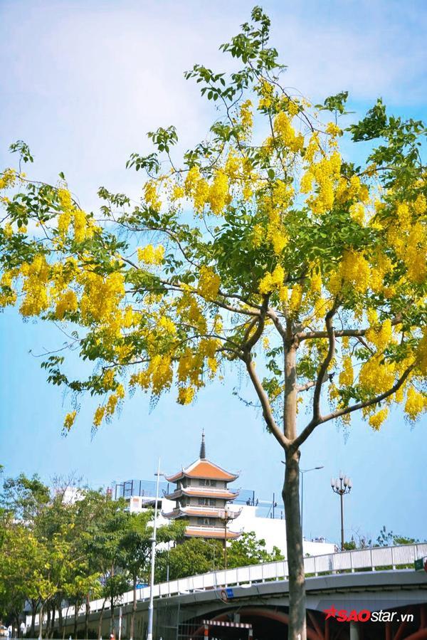 Hoa có nhiều cái tên mĩ miều, nhưng người Sài Gòn thì chỉ thích gọi mỗi bò cạp vàng.