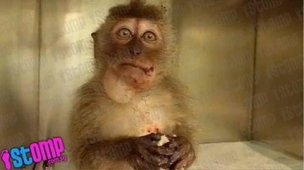 Lại thêm một chú khỉ bị trọng thương do bất cẩn của du khách