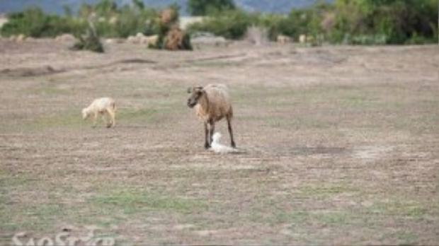 Cừu mẹ bên cừu con vừa ra đời trước đó vài phút, một khoảnh khắc thú vị mà SaoStar may mắn được chứng kiến.