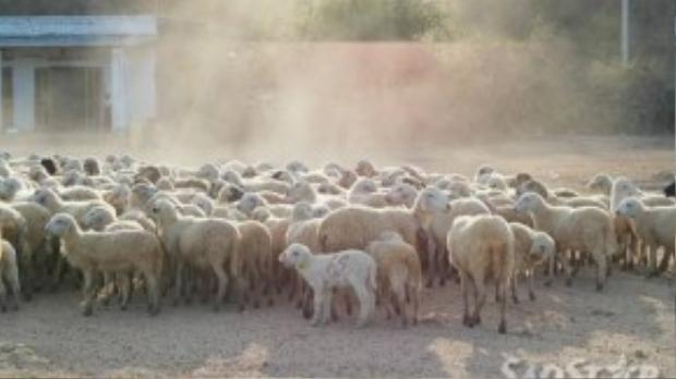 Một đàn cừu quy mô lớn đang về chuồng dưới ánh nắng chiều tà ở xã Phước Dân.