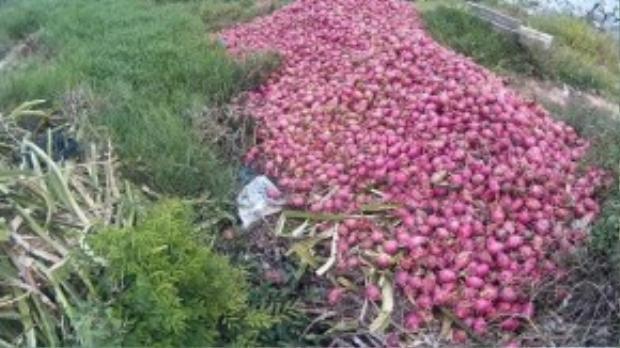 Nhiều hộ không có bò phải thu gom hàng tấn thanh long bỏ ven suối để làm sạch vườn. Ảnh: Zen Nguyễn.