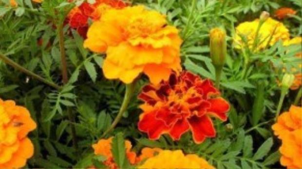 Cúc vạn thọ với nhiều màu sắc khoe hương sẽ giúp cho khu vườn nhà bạn càng rực rỡ, vừa phòng chống muỗi hiệu quả.