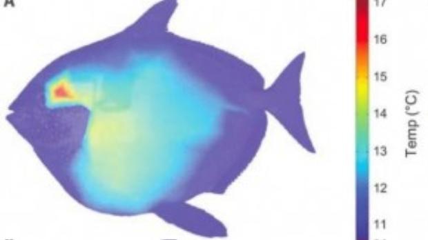 Tổ chức mạch máu tại mang (phần tô đỏ) giúp cá mặt trăng duy trì nhiệt độ cơ thể luôn ấm áp