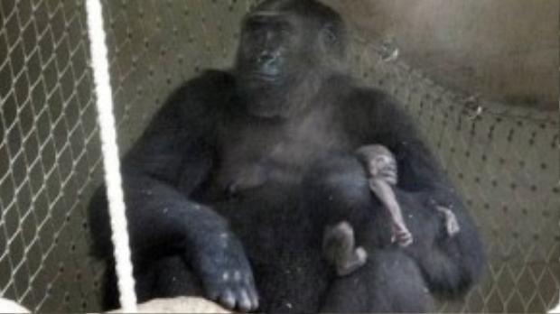 Khỉ đột mẹ ôm xác con hơn 1 tuần liền tại sở thú Frankfurt, Đức.