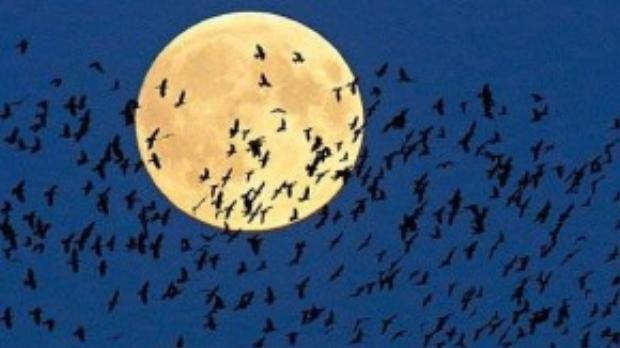 """Đàn chim bay về tổ qua """"siêu trăng"""" đang mọc trên bầu trời ở thành phố Mir, Belarus."""
