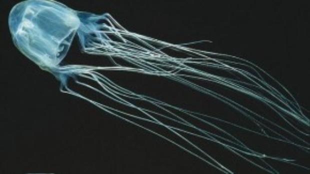 Sứa hộp là loài sứa độc nhất, với các xúc tu dài hơn 20cm và chứa một loại nọc độc cực mạnh gây chết người ngay lập tức.