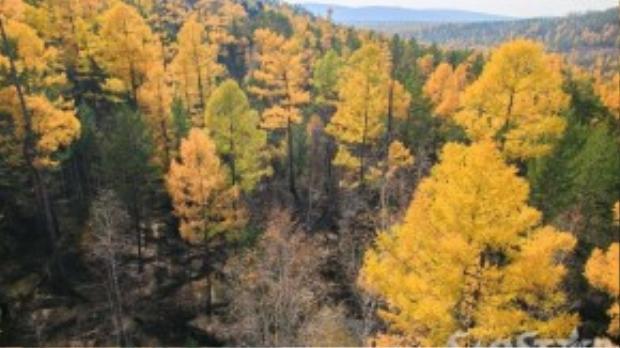 Các sắc thái vàng, xanh khác nhau tạo nên kiệt tác thiên nhiên rừng Taiga mỗi độ thu về.