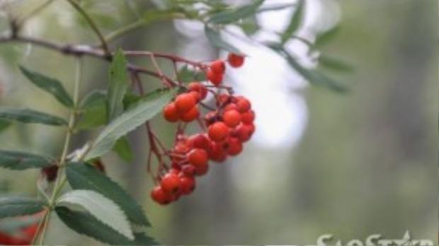 Bạn sẽ thích thú với hàng loạt trái cây rừng với rất nhiều vitamin, thường được người Nga dùng nấu mứt, cất giữ ăn dần quanh năm.