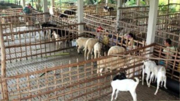 Khu vực chăn nuôi của nông trại rộng hơn 6 ha, với các loại gia súc như bò, dê, cừu… Bà Võ Thị Diễm Miều, đại diện nông trại cho biết, chủ đầu tư quyết định triển khai mô hình này khi nhận thấy những dịch vụ trải nghiệm về chăn nuôi chưa có tại TP HCM. Không ngờ, chương trình đã thu hút nhiều khách tham quan. Nông trại đang tiếp tục nhập thêm nhiều loại thú nuôi và tổ chức phong phú thêm.