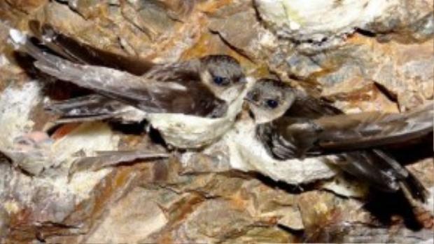 Chim yến nổi tiếng với đức tính thủy chung nhưng chúng không được đánh giá cao đến mức có thể tự tử vì đau buồn như con người.
