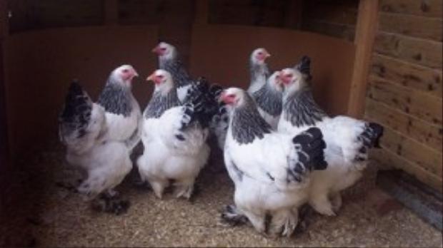 Người nuôi giống gà Brahma này tin rằng nó mang lại cho họ nhiều may mắn, sự mạnh mẽ, sang trọng, giàu có hay quyền lực.