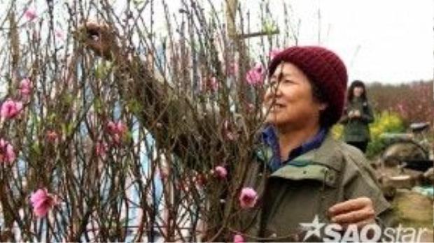 Cụ Liên đang tỉa bớt những bông hoa đào đã tàn do nở sớm trong ruộng.