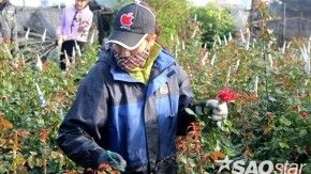 Chị Thanh đang chăm sóc ruộng hoa hồng của gia đình mình.