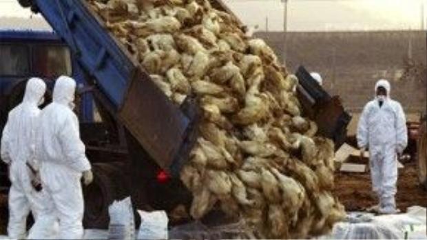 Hàng triệu con gia cầm nhiễm H5N1 bị tiêu hủy.