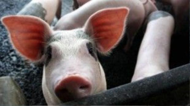 Virus cúm A/H1N1 có nguồn gốc từ lợn.