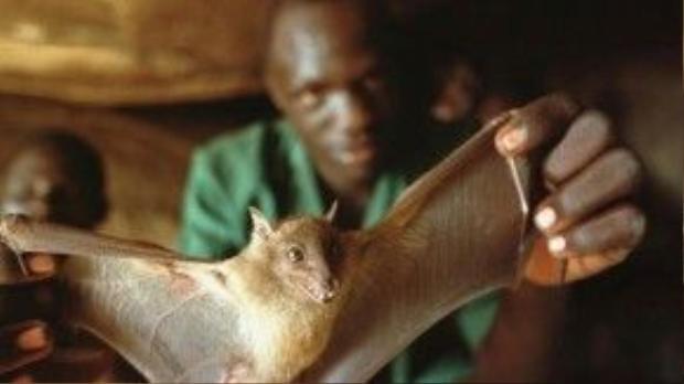 Người nhiễm virus Ebola được cho là tiếp xúc với máu hoặc dịch cơ thể của loài dơi hoặc khỉ.